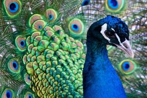 Close up of a peacock at Pencarrow, an attraction near Highcliffe.